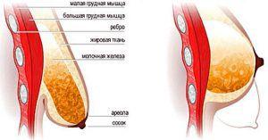 структура груди