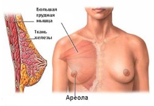 Строение груди женщины