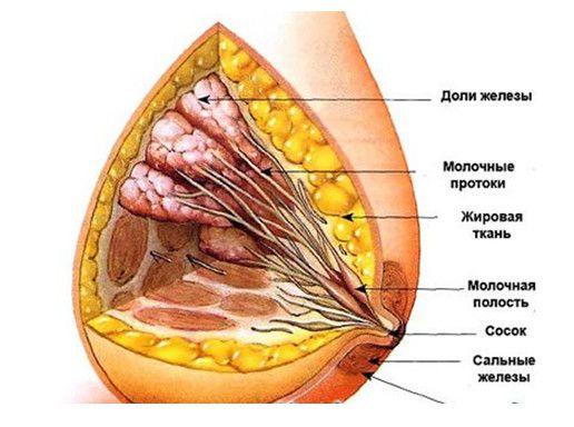 детальное строение груди