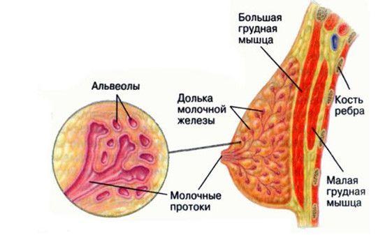 формы молочных желез